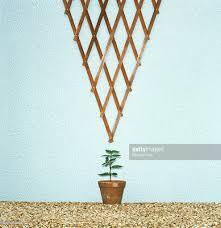 potted honeysuckle under inverted triangle trellis stock photo