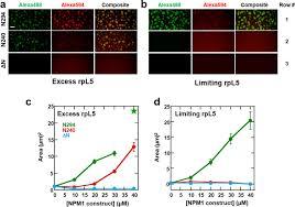 nucleophosmin integrates within the nucleolus via multi modal