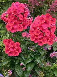phlox flower phlox coral bluestone perennials