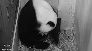 Lights At The National Zoo by Panda Cubs Born At National Zoo