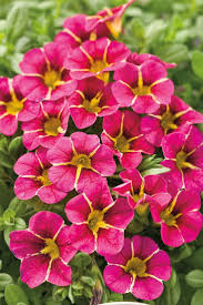 wheel shaped flower buds of stenocarpus sinuatus queensland 79 best gardening u0026 patio images on pinterest gardening flower