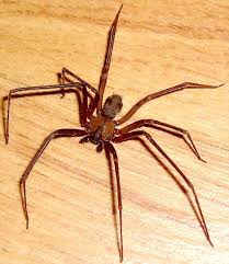 Male Spider Anatomy A Brown Recluse Spider From Wichita Falls Texas Bugs In The News