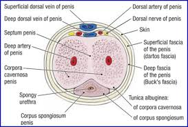 Perineum Anatomy Female Duke Anatomy Lab 9 Perineum
