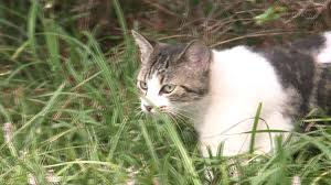 video shows monster sized mystery cat in mississippi field wreg com