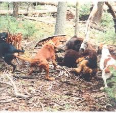 bluetick vs english coonhound decline of the redbone hound page 3 biggamehoundsmen com