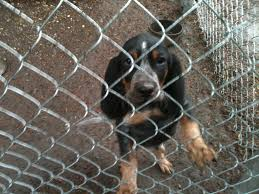bluetick coonhound price high country bluetick cameron bluetick puppies for sale high