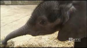 pittsburgh zoo u0027s baby elephant dies wpxi