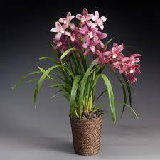 cymbidium orchid exclusive pink cymbidium orchid white flower farm