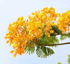 Yellow Flowering Trees - trees and flowers of singapore