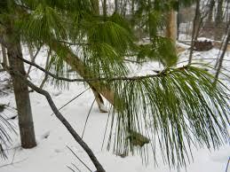 Mi Lake Home Garden Plant Of The Month White Pine Pinus Strobus
