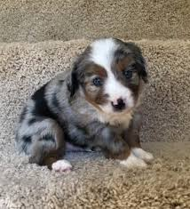 australian shepherd for sale near me puppies archives vaughan u0027s toy aussies