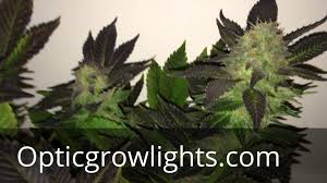 Best 25 Marijuana Grow Lights by Growing Marijuana Weed With Led Grow Lights By Optic Lighting