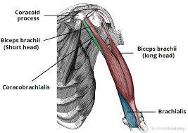 Tendons In The Shoulder Diagram Muscles Of The Upper Arm Biceps Triceps Teachmeanatomy
