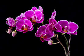 purple orchids knumathise purple orchids images