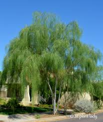 southwest native plants 10 beautiful native trees for the southwest ramblings from a