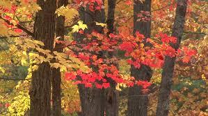 multi colored leaves on various trees stock footage 1722772