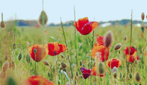 poppy to download download awesome collection of handpicked