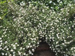 small white flowers online plant guide zinnia angustifolia white white zinnia