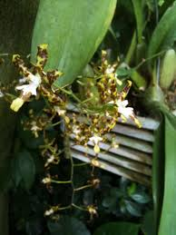 oncidium orchid oncidium orchid