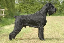 belgian sheepdog arizona herding or stock dogs archives all big dog breeds