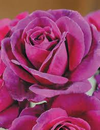 Fragrant Rose Plants Fragrant Roses Blackberry Nip Tesselaar