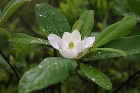 sweetbay magnolia adding life to your garden audubon north carolina