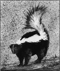 outside story the winter life of skunks the adirondack almanack