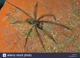 giant european house spider giant house spider larger house