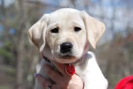 11am cute puppy u2014 saint is already wearing a service dog tag