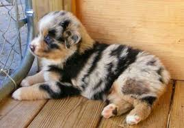 australian shepherd herding sheep australian shepherd herding sheep aussie stuff pinterest