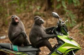 imagenes de animales y cosas estos monos manejando una moto y otras 39 fotografías de animales