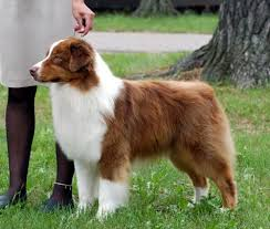 is an australian shepherd smart australian shepherd wikipedia