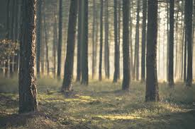 image pine tree forest wallpaper background hd jpg animal jam