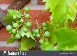 food biological grapes stock image i3481570 at featurepics