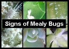 mealy bugs look like small patches of cotton wool earthdragon u0027s