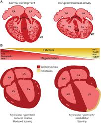 Tissue Renewal Regeneration And Repair View From The Heart Cardiac Fibroblasts In Development Scarring