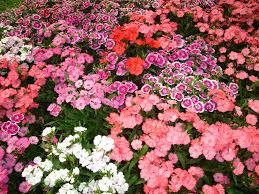 file flower garden found in tak thailand 1 jpg wikimedia commons