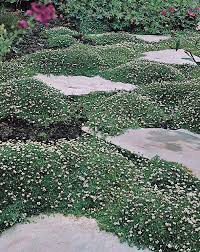 moss seeds pearlwort moss perennial ground cover seed