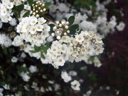 small white flowers small white flowers by porcelainkittykat on deviantart