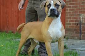 boxer dog 2 months old stunning 10 month old boxer bull mastiff wirral merseyside