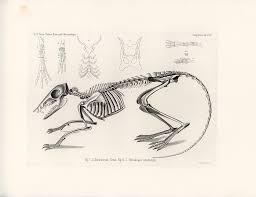 checkered elephant shrew skeleton drawing by w wagenschreiber