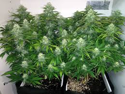 Indore Plants Best Marijuana Strains To Grow For Beginners Grow Weed Easy