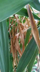 Yucca Wohnzimmer Yucca Palme Pflanzenkrankheiten U0026 Schädlinge Green24 Hilfe