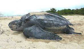 leatherback sea turtle wikipedia