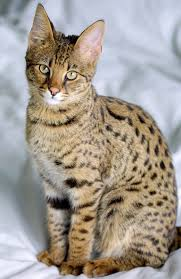 top 10 largest cat breeds in the world the mysterious world