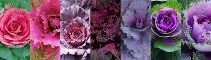 ornamental kale a colorado courtshipa colorado courtship