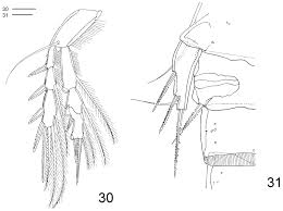 2007 Sienna Fuse Box Diagram First Record Of Clausidium Copepoda Clausidiidae From Brazil A