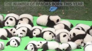panda cubs unveiled at chengdu research base in china nature