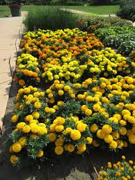 Marigolds Shade by Fist Sized Marigolds Rotary Botanical Gardens