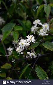 clematis tibetana var vernayi white seed heads summer flowering